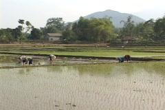 Vietnam: Planting rice - wide shot Stock Footage