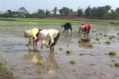 Vietnam: Women transplanting rice seedlings into rice fields Stock Footage
