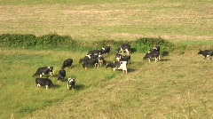 Cows - stock footage