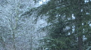 Snow Falling on Trees in Winter in Washington State Stock Footage