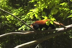 Red Panda NS DV NTSC Stock Footage