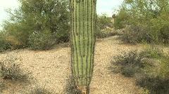 Saguaro Cactus in Desert in Phoenix, Arizona Stock Footage
