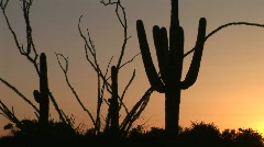 Ocotillo and Saguaro Cactus in Desert at Sunrise in Scottsdale, Arizona - stock footage
