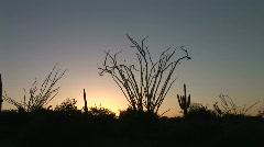 Ocotillo Cactus at Sunrise Stock Footage