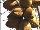 Coconuts close 01 Stock Footage