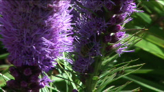Purple flower and a bee Stock Footage