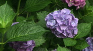 Stock Video Footage of Hydrangea Solo