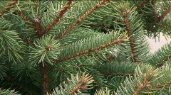 Pinetree Close Up Stock Footage