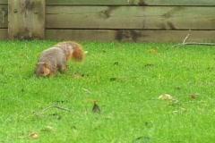 Fox Squirrel_01 Stock Footage