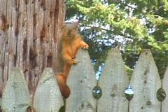 Fox Squirrel_02 Stock Footage