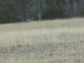 Whitetail One Stock Footage