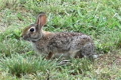 Cottontail 1 Stock Footage