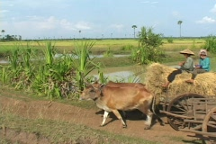 Cambodia: Ox Cart with Hay Stock Footage