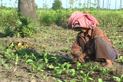 Cambodia: Woman weeds her field - stock footage