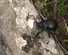 Black chafer  - stock footage