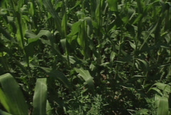 Corn Field 01 Stock Footage