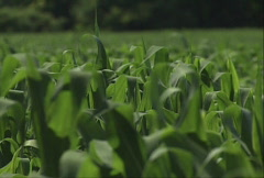 Corn Field 02 Stock Footage