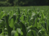 Stock Video Footage of Corn Field 02