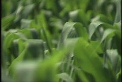 Corn Field 03 Stock Footage