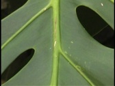 Stock Video Footage of monstera leaf pull