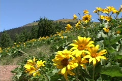 Mountain Meadow Foreground Flowers Stock Footage