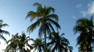 Stock Video Footage of Wide of Tropical Coconut Trees Brazil