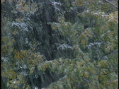 Stock Video Footage of Snowing heavily on Aspen Trees