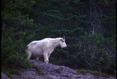 Mountain Goat - stock footage