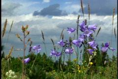 """Wildflowers, """"Blue Bells"""" Stock Footage"""