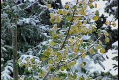 Snowing on aspen trees in autumn - stock footage