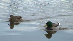 Couple of Mallard ducks swimming one - stock footage