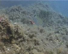 Puntazzo fish 23 – PAL Stock Footage