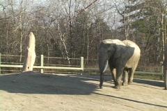 Elephant at the Toronto Zoo Stock Footage