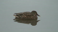 Female Mallard duck swimming Stock Footage