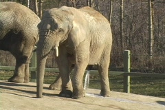 Elephant peeing at the zoo Stock Footage