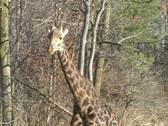 Giraffe at the Toronto Zoo Stock Footage