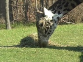 Giraffe at the Toronto Zoo Stock Footage