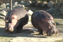 Hippopotamus at the toronto Zoo Stock Footage