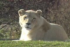 Lion at the Toronto Zoo Stock Footage