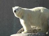 Polar Bear at the Toronto Zoo Stock Footage
