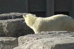 Polar Bear at the Toronto Zoo Stock Footage
