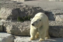 Polar Bear at the Toronto Zoo - stock footage