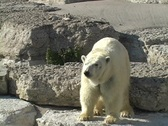 Stock Video Footage of Polar Bear at the Toronto Zoo