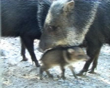 Wild boar with piglet - stock footage