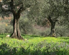 olive tree s with spring grassland - stock footage