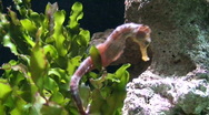 Stock Video Footage of Hippocampus (Seahorse), close-up