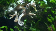 Stock Video Footage of Hippocampus (Seahorse) gliding, close-up
