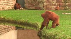 Orangutan having a drink of water. HD 1080i Stock Footage