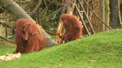 Family of Orangutan HD 1080i Stock Footage