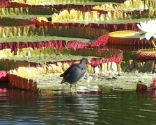 Coot on Waterlilies Stock Footage